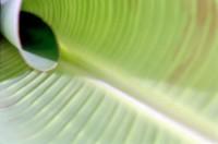GREE2001-Bananenkrul 1