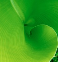 GREE2000-Bananenblad