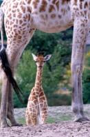 ANIM2003-Giraffen-baby-doorkijk stnd