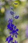 FLOW2005-LOVELY BLUE_X8P9079 - versie 2