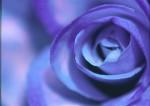 FLOW2003-Blue rose 2 - versie 2