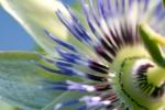 FLOW2007-PASSION FLOWER-VX8P8893 - versie 2
