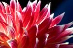 FLOW2007-DAHLIA 3-VX8P1011 - versie 2