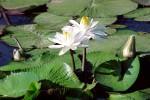 FLOW2003-Witte lelie Bestand