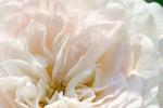 FLOW2005-White Rose_MG_6194 - versie 2