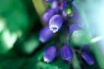 ONKR2004-Blauwe druifcute - versie 2