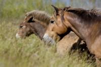 ANIM2005-WILD HORSES_X8P0651
