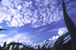 SKIE2002-Corn and sky  - versie 2