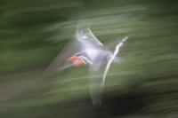 ABST2006-BIRD IN FLIGHT-