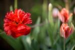 FLOW2010-RED TULIP_X8P1515 - versie 2