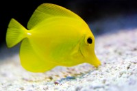 ANIM2008-YELLOW FISH-VX8P4297