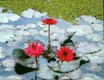 FLOW2001-Three red lillies (beast)