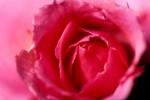 FLOW2004-Flexa-rose - versie 2