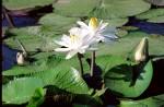 FLOW2001-Witte lelie